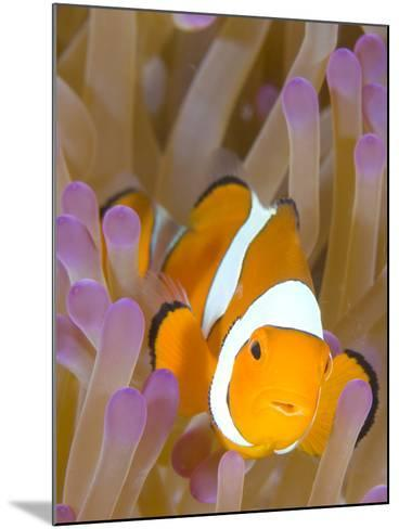 A Clown Anemonefish in a Purple Anemone, Papua New Guinea-Stocktrek Images-Mounted Photographic Print