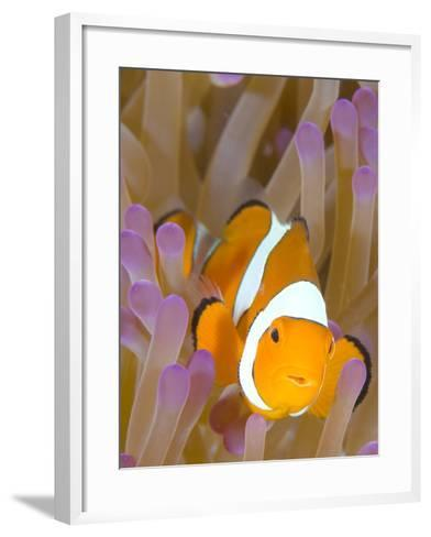 A Clown Anemonefish in a Purple Anemone, Papua New Guinea-Stocktrek Images-Framed Art Print