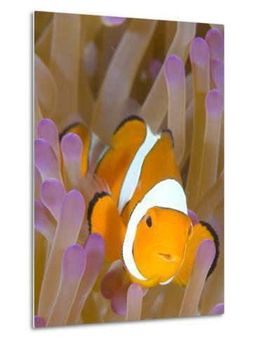 A Clown Anemonefish in a Purple Anemone, Papua New Guinea-Stocktrek Images-Metal Print