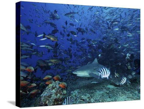 An Underwater Photographer Films a Large Bull Shark Surrounded by Hundreds of Reef Fish, Fiji-Stocktrek Images-Stretched Canvas Print