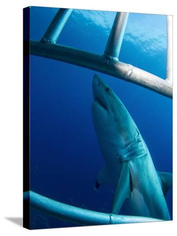 Male Great White Shark, Guadalupe Island, Mexico-Stocktrek Images-Stretched Canvas Print