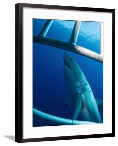 Male Great White Shark, Guadalupe Island, Mexico-Stocktrek Images-Framed Art Print