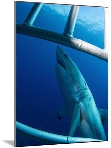 Male Great White Shark, Guadalupe Island, Mexico-Stocktrek Images-Mounted Photographic Print