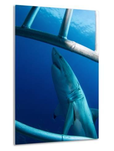 Male Great White Shark, Guadalupe Island, Mexico-Stocktrek Images-Metal Print