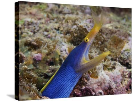 A Blue Ribbon Eel Displays Its Open Mouth To the Photographer, Fiji-Stocktrek Images-Stretched Canvas Print