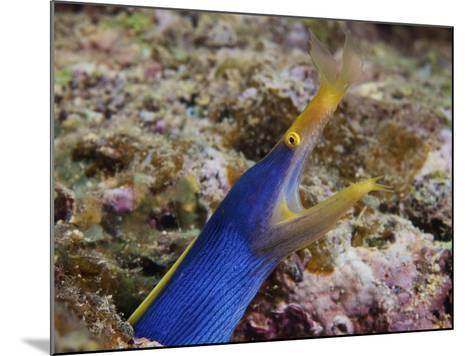 A Blue Ribbon Eel Displays Its Open Mouth To the Photographer, Fiji-Stocktrek Images-Mounted Photographic Print