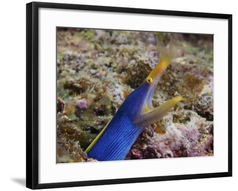 A Blue Ribbon Eel Displays Its Open Mouth To the Photographer, Fiji-Stocktrek Images-Framed Art Print