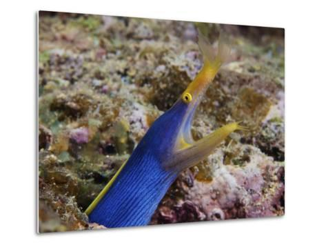 A Blue Ribbon Eel Displays Its Open Mouth To the Photographer, Fiji-Stocktrek Images-Metal Print