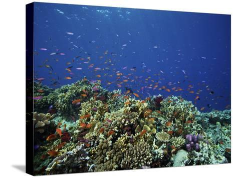 A School of Orange Basslets On a Healthy Fijian Reef-Stocktrek Images-Stretched Canvas Print