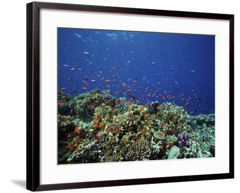 A School of Orange Basslets On a Healthy Fijian Reef-Stocktrek Images-Framed Art Print