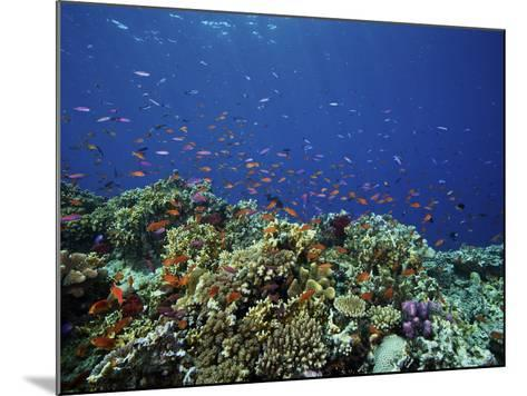 A School of Orange Basslets On a Healthy Fijian Reef-Stocktrek Images-Mounted Photographic Print