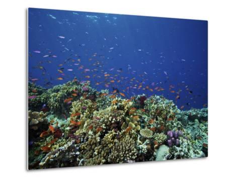 A School of Orange Basslets On a Healthy Fijian Reef-Stocktrek Images-Metal Print