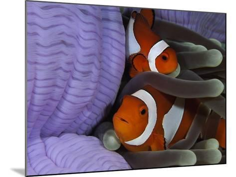 Pair of Clown Anemonefish, Indonesia-Stocktrek Images-Mounted Photographic Print