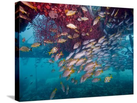 Schools of Gray Snapper, Yellowtail Snapper And Bluestripe Grunt Fish-Stocktrek Images-Stretched Canvas Print