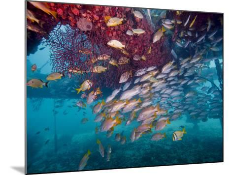 Schools of Gray Snapper, Yellowtail Snapper And Bluestripe Grunt Fish-Stocktrek Images-Mounted Photographic Print