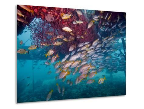 Schools of Gray Snapper, Yellowtail Snapper And Bluestripe Grunt Fish-Stocktrek Images-Metal Print