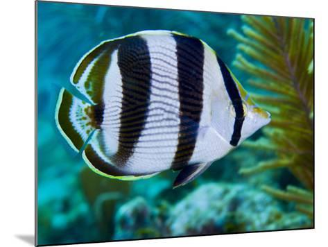 Close-up of a Banded Butterflyfish-Stocktrek Images-Mounted Photographic Print