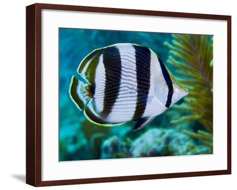 Close-up of a Banded Butterflyfish-Stocktrek Images-Framed Art Print