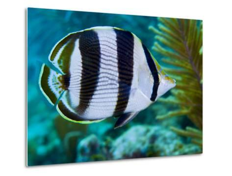 Close-up of a Banded Butterflyfish-Stocktrek Images-Metal Print