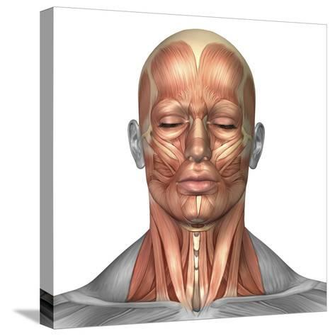 Anatomy of Human Face And Neck Muscles, Front View-Stocktrek Images-Stretched Canvas Print