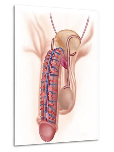 Anatomy of Male Reproductive Organs-Stocktrek Images-Metal Print