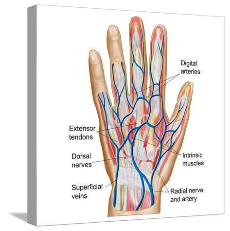 Anatomy of Back of Human Hand-Stocktrek Images-Stretched Canvas Print