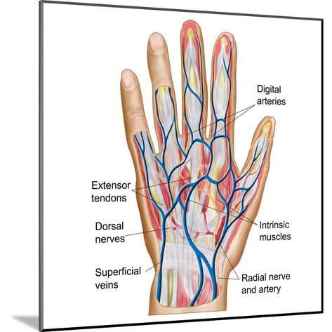 Anatomy of Back of Human Hand-Stocktrek Images-Mounted Photographic Print
