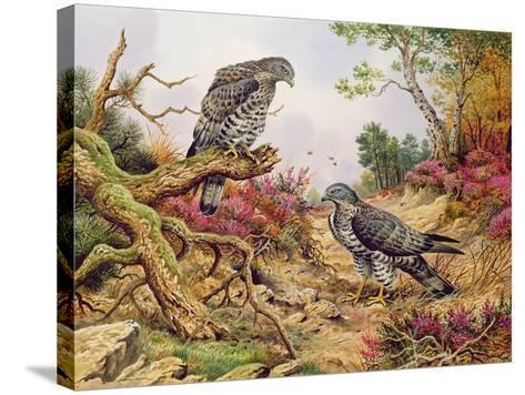 Honey Buzzards-Carl Donner-Stretched Canvas Print