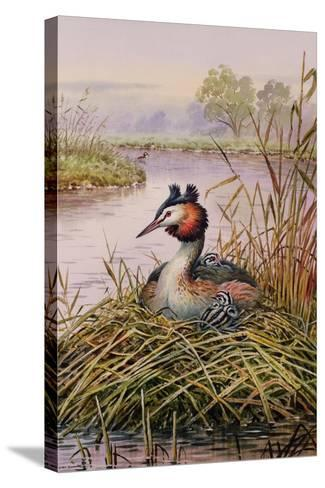 Great-Crested Grebes-Carl Donner-Stretched Canvas Print
