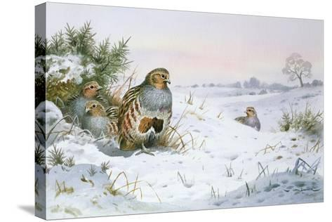 Grey Partridge-Carl Donner-Stretched Canvas Print