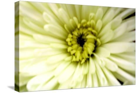 Birthday Flower-Sarah O'Toole-Stretched Canvas Print