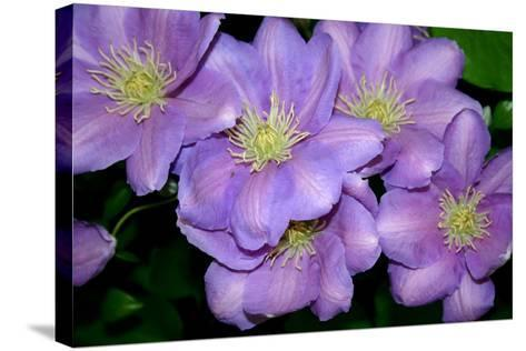 The Clematis Gang-Sarah O'Toole-Stretched Canvas Print