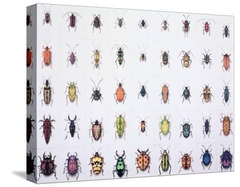 Beetles, 1999-Charlie Baird-Stretched Canvas Print