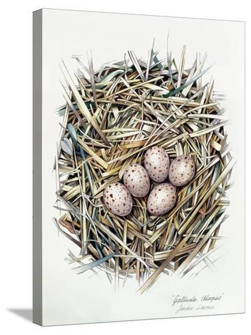 Gallinula Choepus (Moorhen), 2000-Sandra Lawrence-Stretched Canvas Print