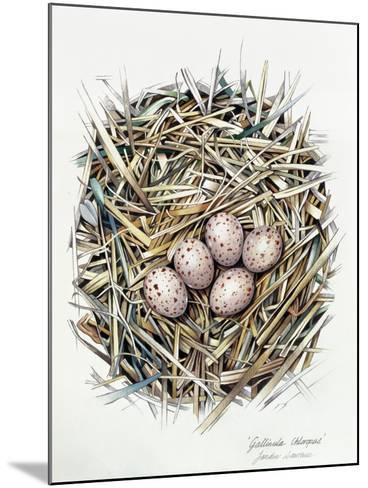 Gallinula Choepus (Moorhen), 2000-Sandra Lawrence-Mounted Giclee Print