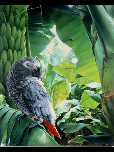 African Grey Parrot, 1990-Sandra Lawrence-Stretched Canvas Print