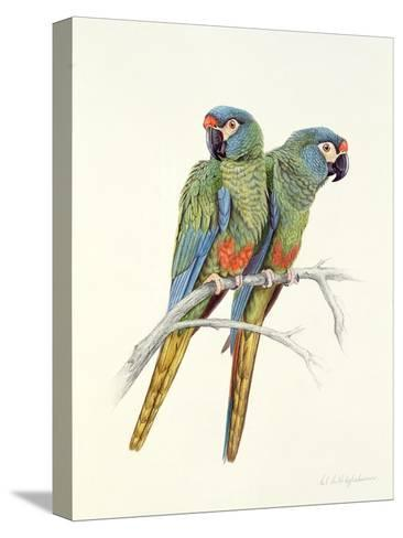 Illiger's Macaw, 1987-Mary Clare Critchley-Salmonson-Stretched Canvas Print