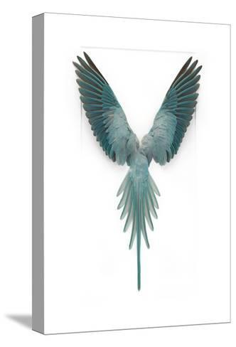 Blue Ringneck Parrot-Christopher Marley-Stretched Canvas Print