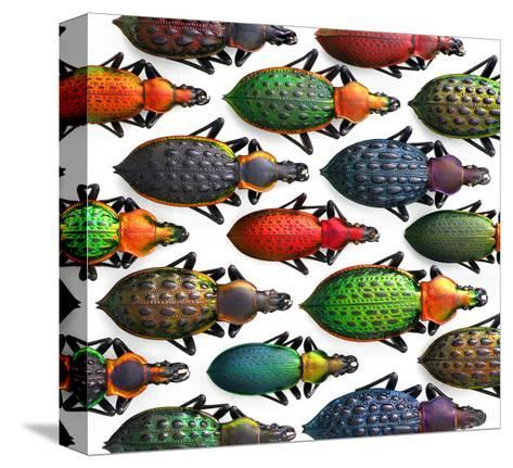 Asian Ground Beetles-Christopher Marley-Stretched Canvas Print