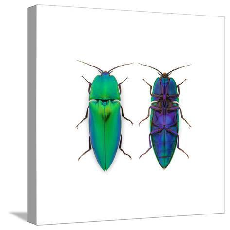 Borneo Click Beetle-Christopher Marley-Stretched Canvas Print