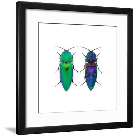 Borneo Click Beetle-Christopher Marley-Framed Art Print