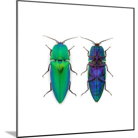 Borneo Click Beetle-Christopher Marley-Mounted Photographic Print