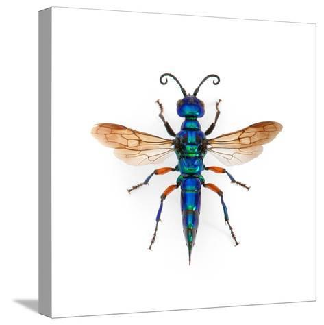 Borneo Wasp-Christopher Marley-Stretched Canvas Print