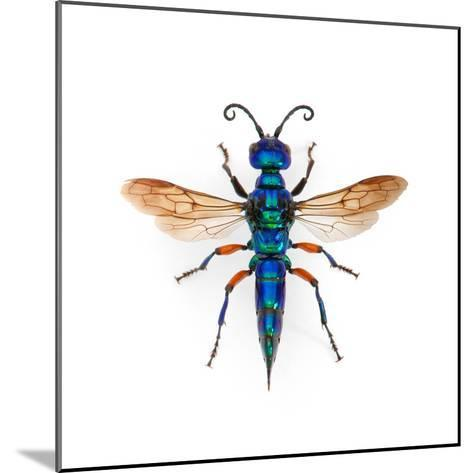Borneo Wasp-Christopher Marley-Mounted Photographic Print
