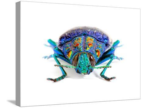 Gemma Woodboring Beetle-Christopher Marley-Stretched Canvas Print
