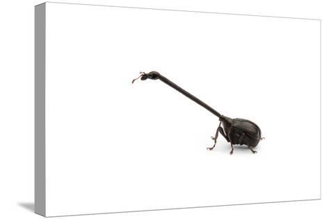 Giraffe Weevil-Christopher Marley-Stretched Canvas Print