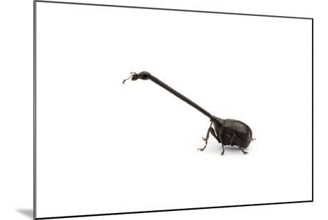 Giraffe Weevil-Christopher Marley-Mounted Photographic Print