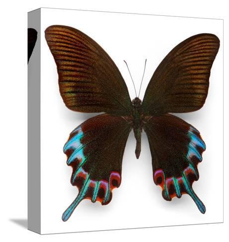 Hermelli Swallowtail-Christopher Marley-Stretched Canvas Print