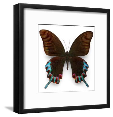 Hermelli Swallowtail-Christopher Marley-Framed Art Print