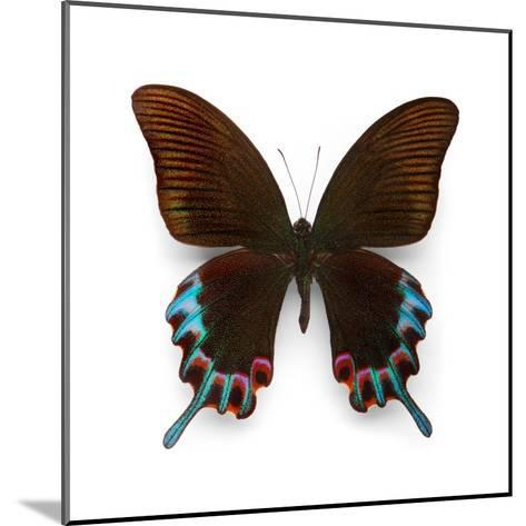 Hermelli Swallowtail-Christopher Marley-Mounted Photographic Print